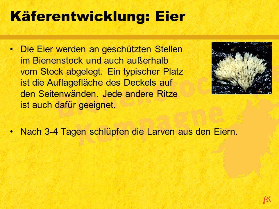 Käferentwicklung: Eier Die Eier werden an geschützten Stellen im Bienenstock und auch außerhalb vom Stock abgelegt.