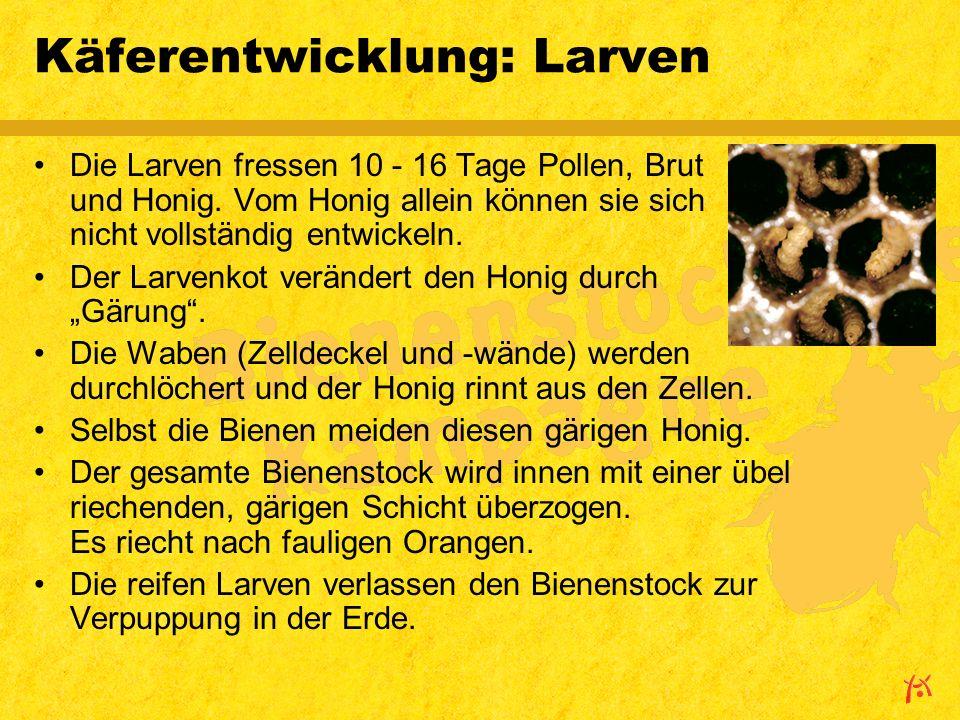Käferentwicklung: Larven Die Larven fressen 10 - 16 Tage Pollen, Brut und Honig.