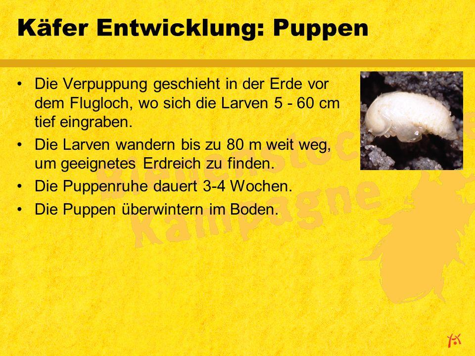 Käfer Entwicklung: Puppen Die Verpuppung geschieht in der Erde vor dem Flugloch, wo sich die Larven 5 - 60 cm tief eingraben.