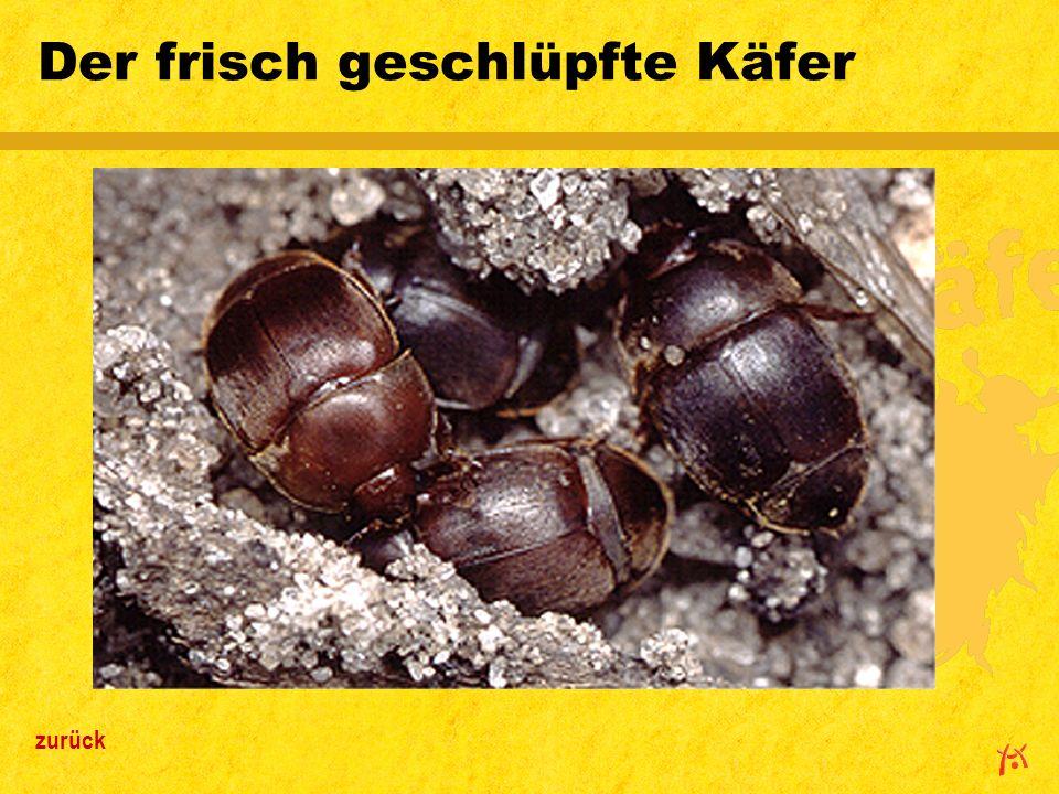 Der frisch geschlüpfte Käfer zurück