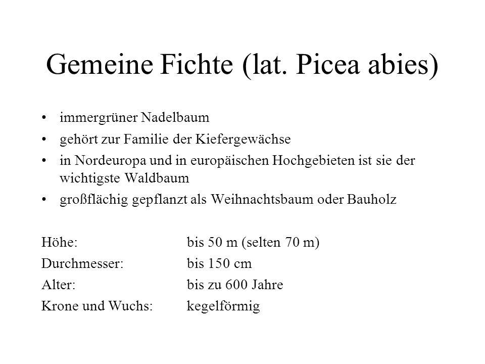 Gemeine Fichte (lat.