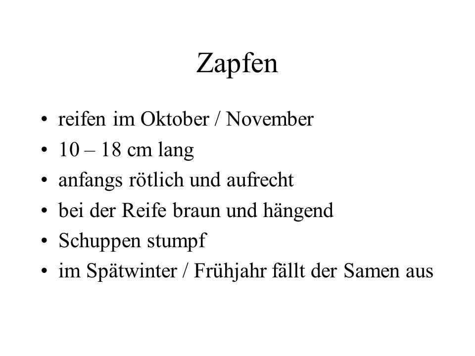 Zapfen reifen im Oktober / November 10 – 18 cm lang anfangs rötlich und aufrecht bei der Reife braun und hängend Schuppen stumpf im Spätwinter / Frühj