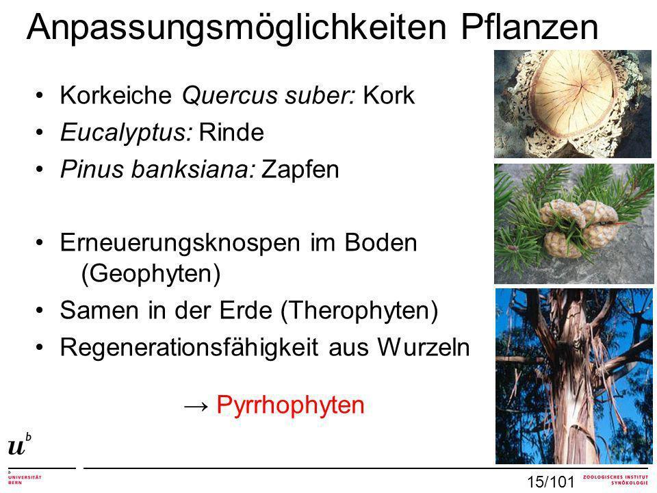 Anpassungsmöglichkeiten Pflanzen Korkeiche Quercus suber: Kork Eucalyptus: Rinde Pinus banksiana: Zapfen Erneuerungsknospen im Boden (Geophyten) Samen