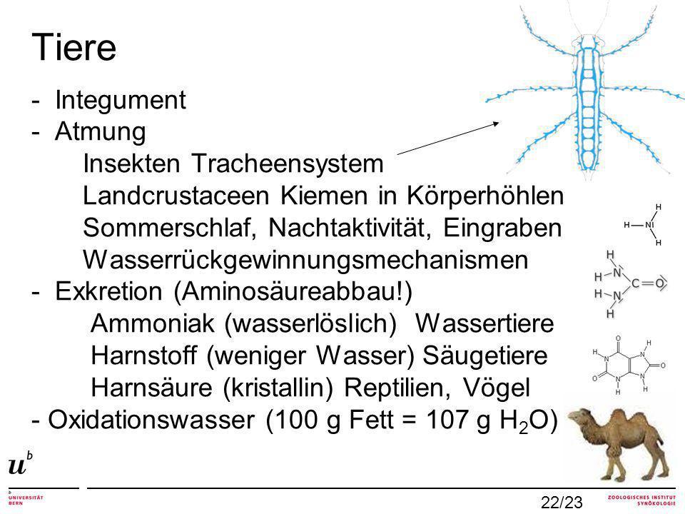 Tiere - Integument - Atmung Insekten Tracheensystem Landcrustaceen Kiemen in Körperhöhlen Sommerschlaf, Nachtaktivität, Eingraben Wasserrückgewinnungsmechanismen - Exkretion (Aminosäureabbau!) Ammoniak (wasserlöslich) Wassertiere Harnstoff (weniger Wasser) Säugetiere Harnsäure (kristallin) Reptilien, Vögel - Oxidationswasser (100 g Fett = 107 g H 2 O) 22/23