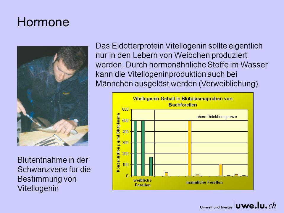 Hormone Blutentnahme in der Schwanzvene für die Bestimmung von Vitellogenin Das Eidotterprotein Vitellogenin sollte eigentlich nur in den Lebern von Weibchen produziert werden.