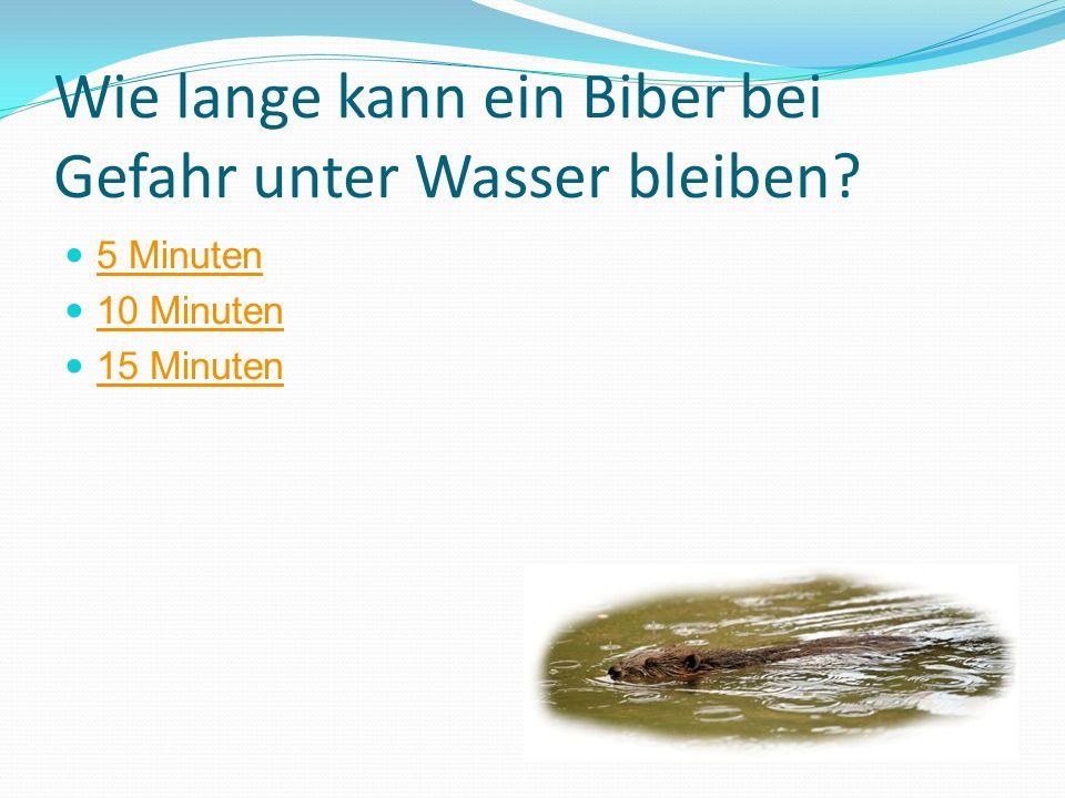 Wie lange kann ein Biber bei Gefahr unter Wasser bleiben? 5 Minuten 10 Minuten 15 Minuten