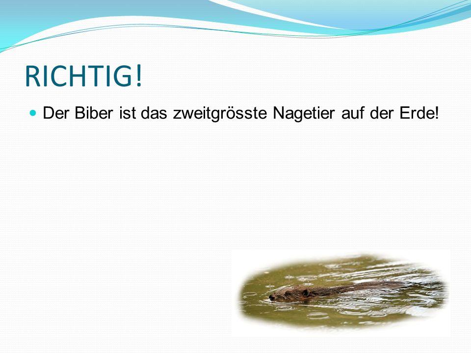 RICHTIG! Der Biber ist das zweitgrösste Nagetier auf der Erde!