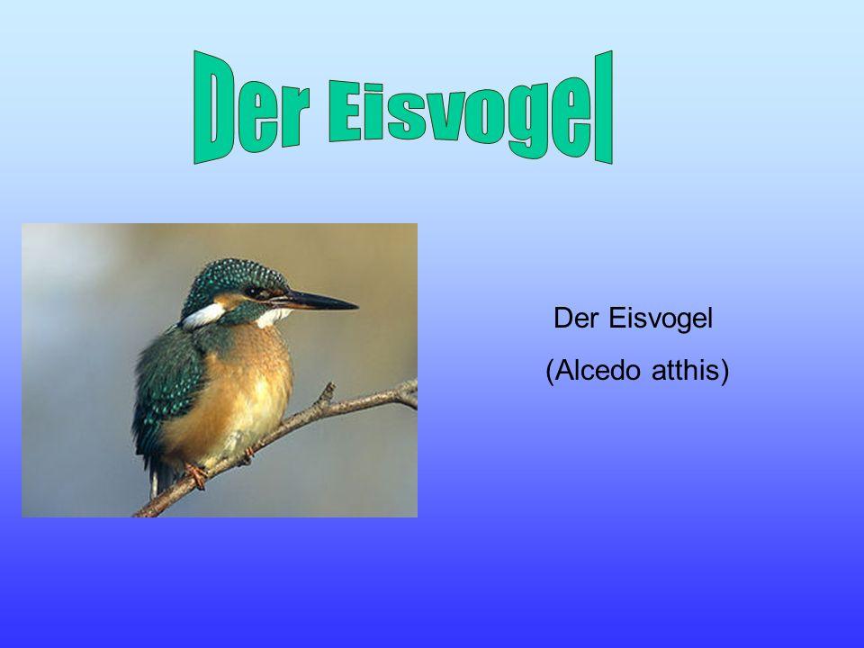 Der Eisvogel (Alcedo atthis)