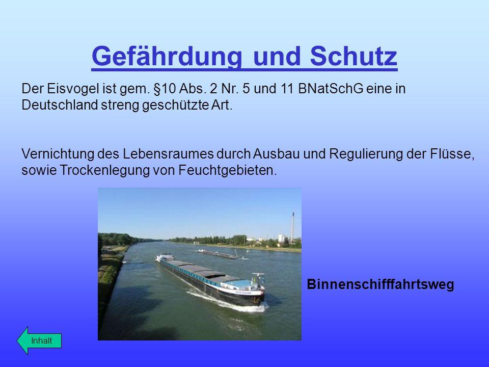 Gefährdung und Schutz Der Eisvogel ist gem. §10 Abs. 2 Nr. 5 und 11 BNatSchG eine in Deutschland streng geschützte Art. Vernichtung des Lebensraumes d