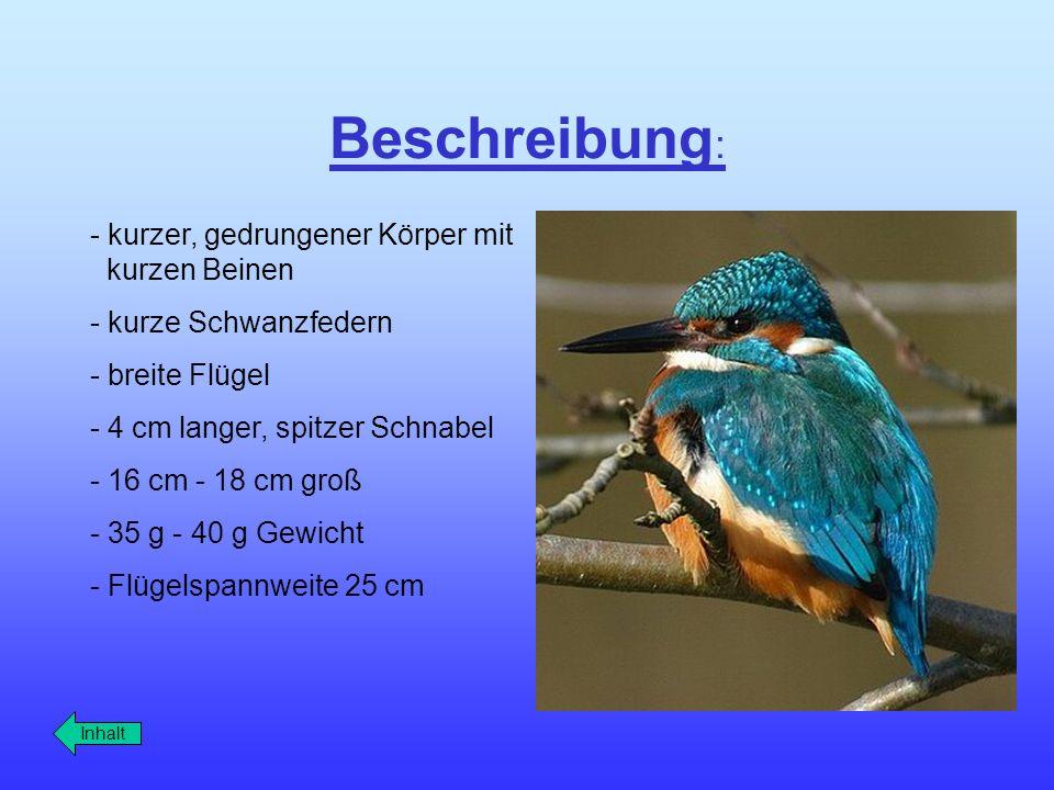 Beschreibung : - kurzer, gedrungener Körper mit kurzen Beinen - kurze Schwanzfedern - breite Flügel - 4 cm langer, spitzer Schnabel - 16 cm - 18 cm gr