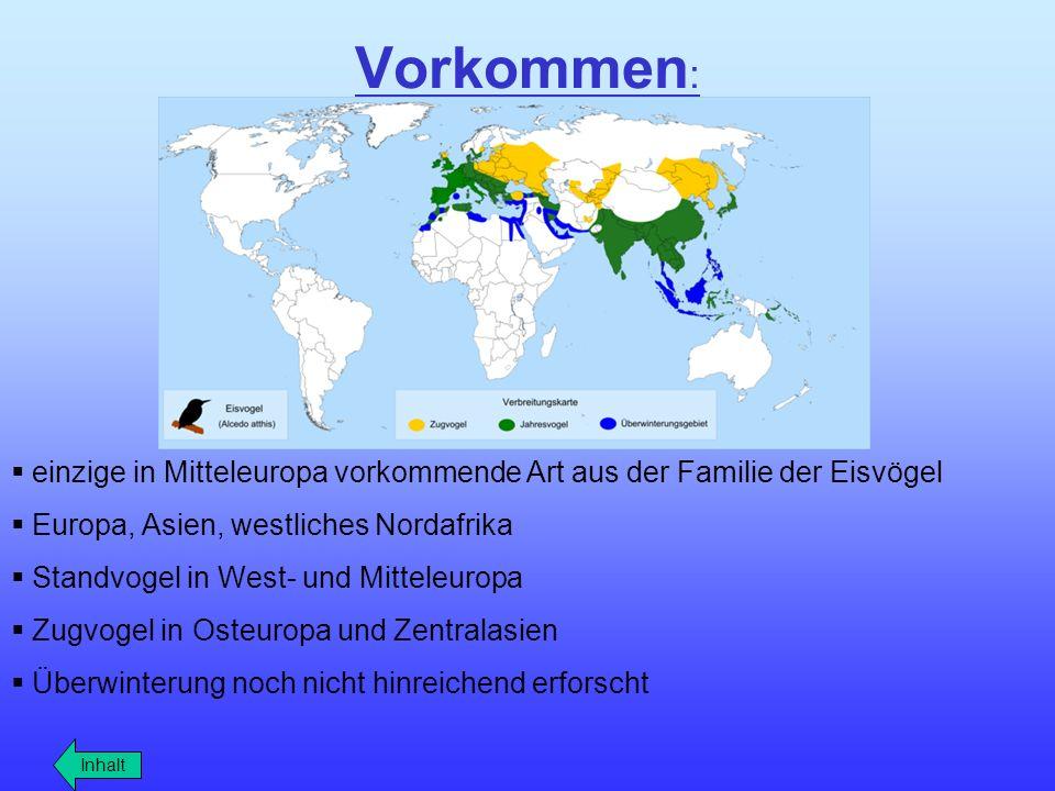 Vorkommen : einzige in Mitteleuropa vorkommende Art aus der Familie der Eisvögel Europa, Asien, westliches Nordafrika Standvogel in West- und Mitteleu