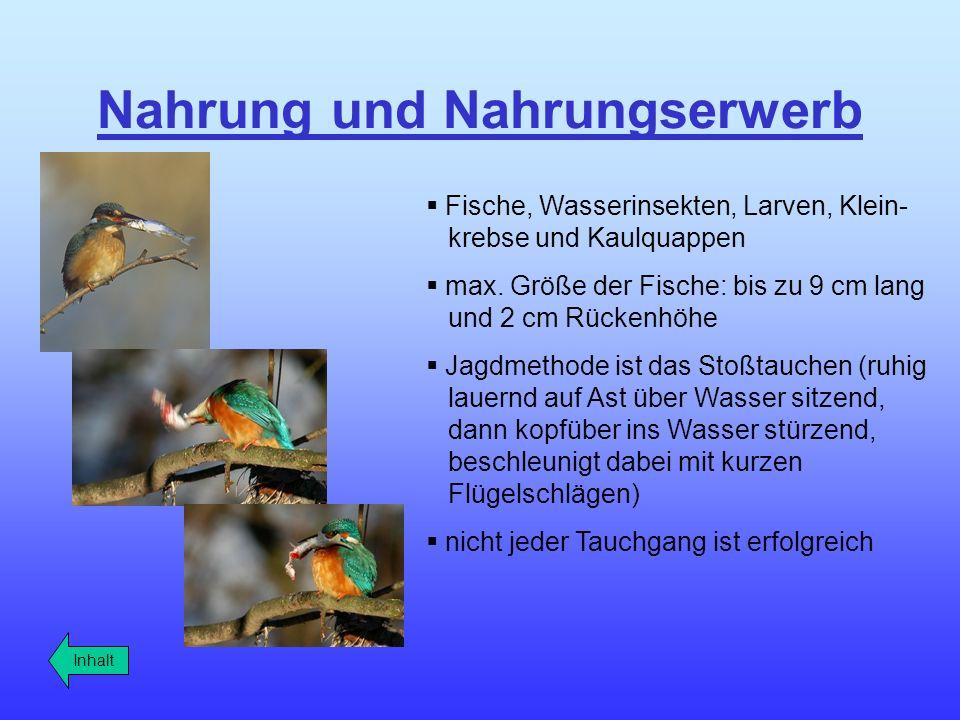 Balz und Paarung die Bruthöhle ist 40 cm – 80 cm lang Bruthöhle bauen Männchen und Weibchen zusammen beide halten Wache es dauert 2-3 Wochen bis die Höhle fertig ist legen 6 - 8 Eier Gewicht des Eies 4,4 g 30% bis 40% der Eier gehen zugrunde Inhalt Männchen: trägt kleine Fische herbei Weibchen: rufend und zitternd mit Flügel; nimmt sie die Beute entgegen