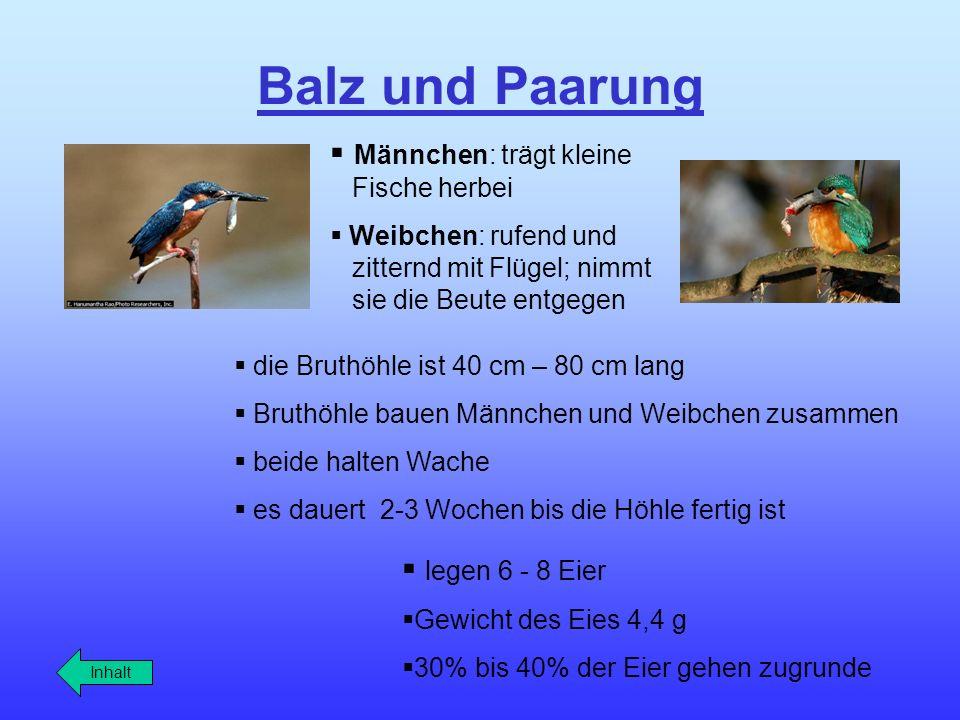 Balz und Paarung die Bruthöhle ist 40 cm – 80 cm lang Bruthöhle bauen Männchen und Weibchen zusammen beide halten Wache es dauert 2-3 Wochen bis die H