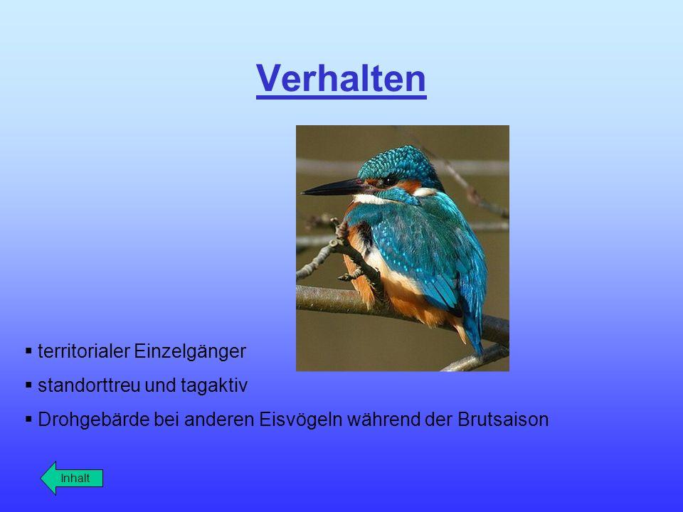 Verhalten territorialer Einzelgänger standorttreu und tagaktiv Drohgebärde bei anderen Eisvögeln während der Brutsaison Inhalt