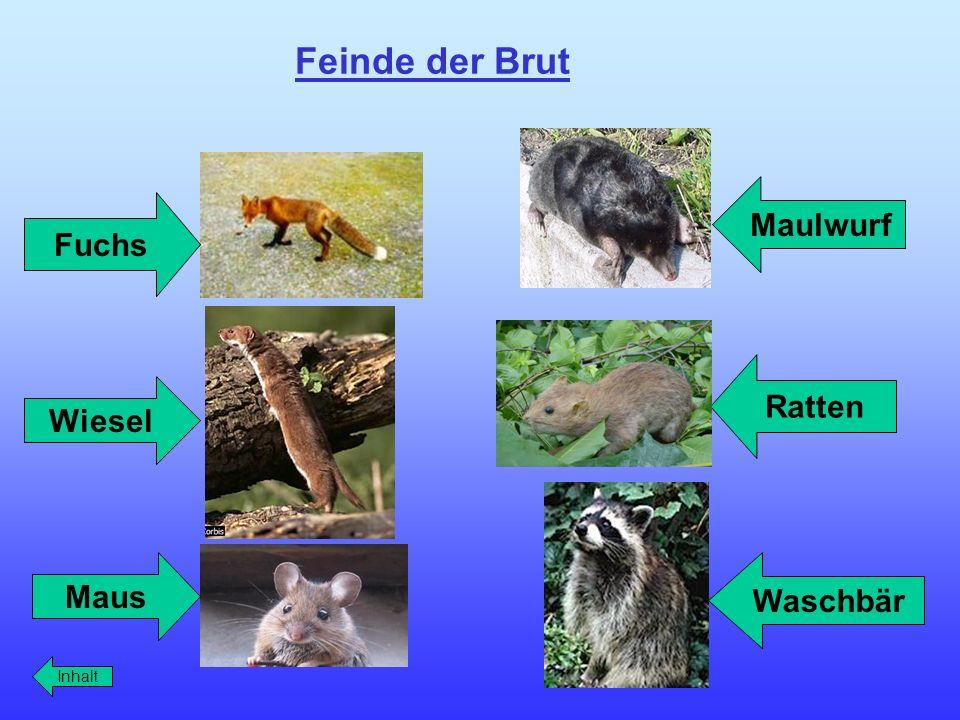 Feinde der Brut Maulwurf Fuchs Inhalt Maus Wiesel Ratten Waschbär