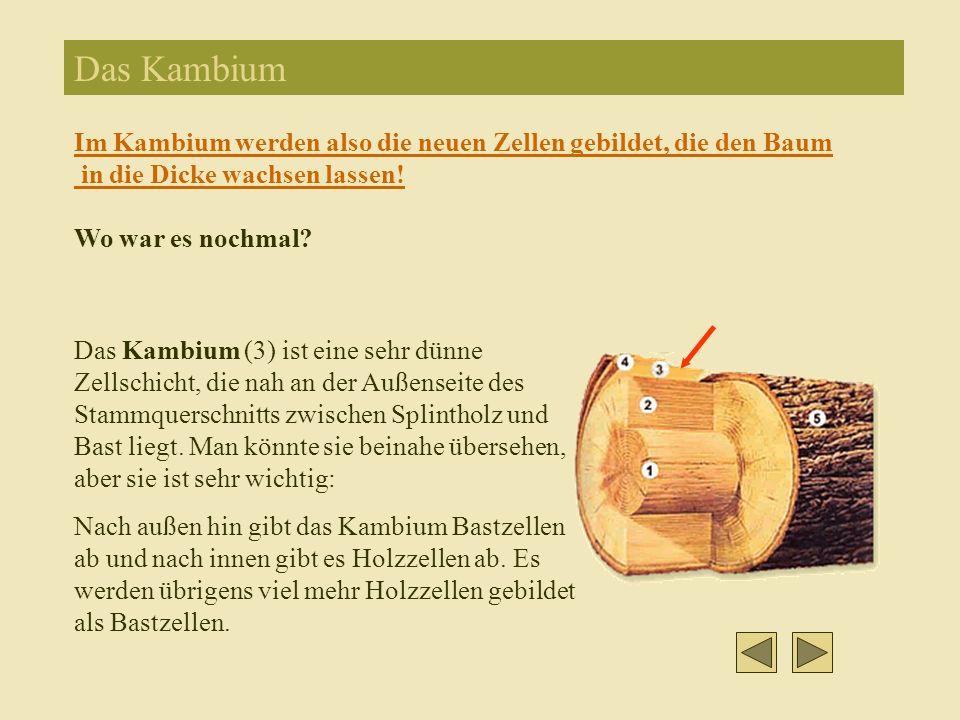 Das Kambium Das Kambium (3) ist eine sehr dünne Zellschicht, die nah an der Außenseite des Stammquerschnitts zwischen Splintholz und Bast liegt.