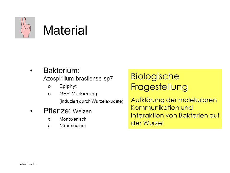 © Rodenacker Material Bakterium: Azospirillum brasilense sp7 oEpiphyt oGFP-Markierung (induziert durch Wurzelexudate) Pflanze: Weizen oMonoxenisch oNährmedium Biologische Fragestellung Aufklärung der molekularen Kommunikation und Interaktion von Bakterien auf der Wurzel