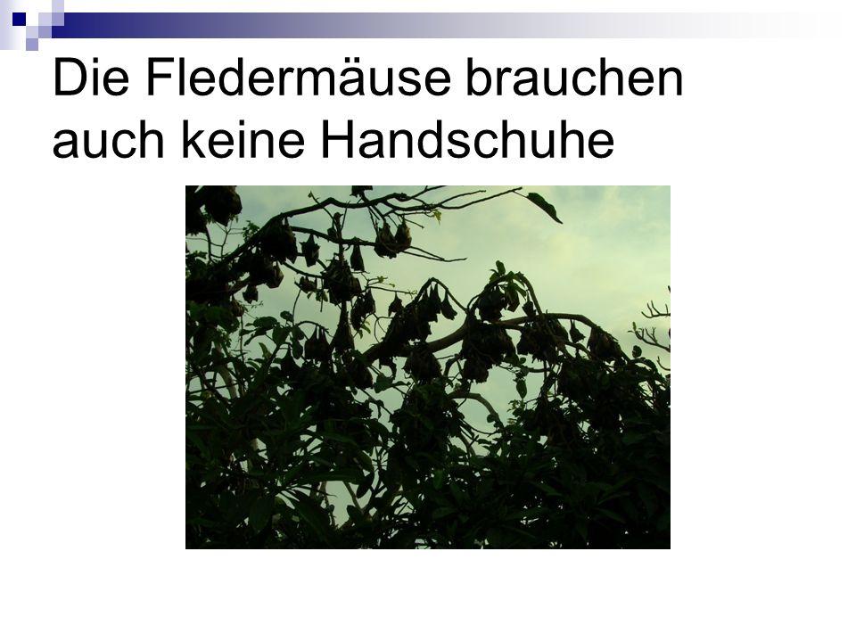 Die Fledermäuse brauchen auch keine Handschuhe