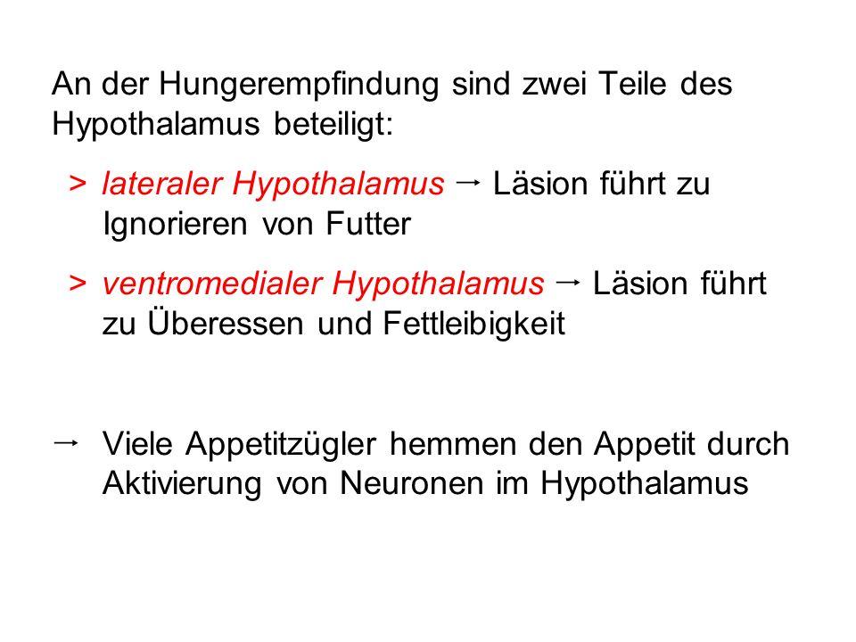 An der Hungerempfindung sind zwei Teile des Hypothalamus beteiligt: >lateraler Hypothalamus Läsion führt zu Ignorieren von Futter >ventromedialer Hypo