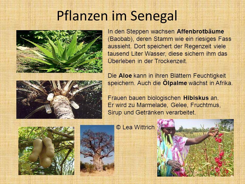 Pflanzen im Senegal In den Steppen wachsen Affenbrotbäume (Baobab), deren Stamm wie ein riesiges Fass aussieht. Dort speichert der Regenzeit viele tau