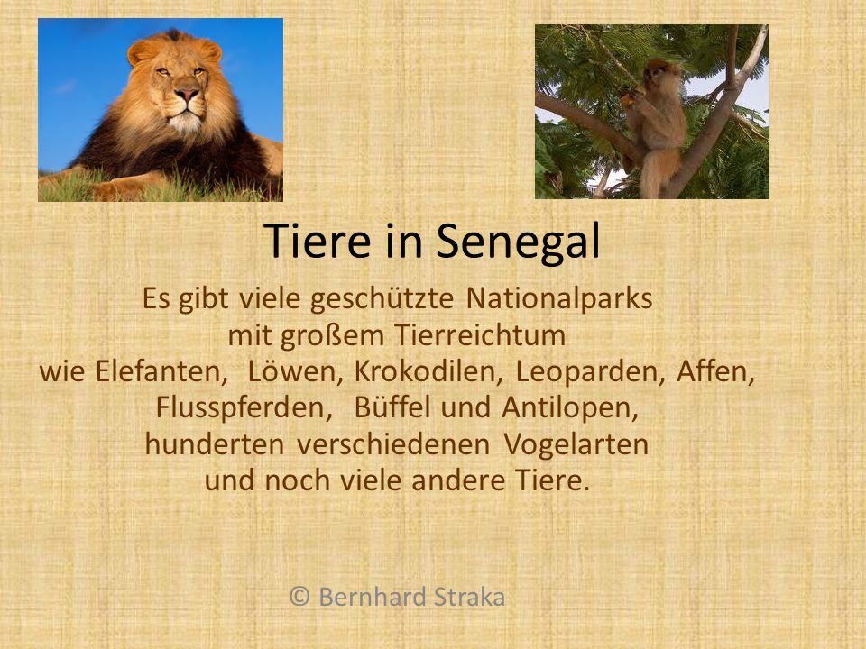 Tiere in Senegal Es gibt viele geschützte Nationalparks mit großem Tierreichtum wie Elefanten, Löwen, Krokodilen, Leoparden, Affen, Flusspferden, Büff
