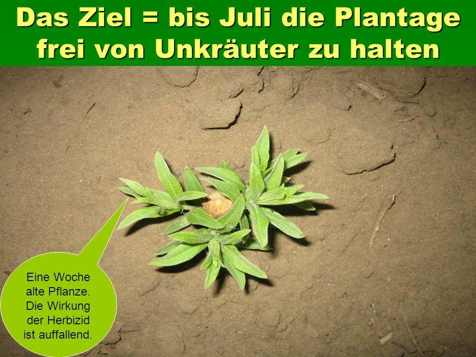 Das Ziel = bis Juli die Plantage frei von Unkräuter zu halten Eine Woche alte Pflanze.