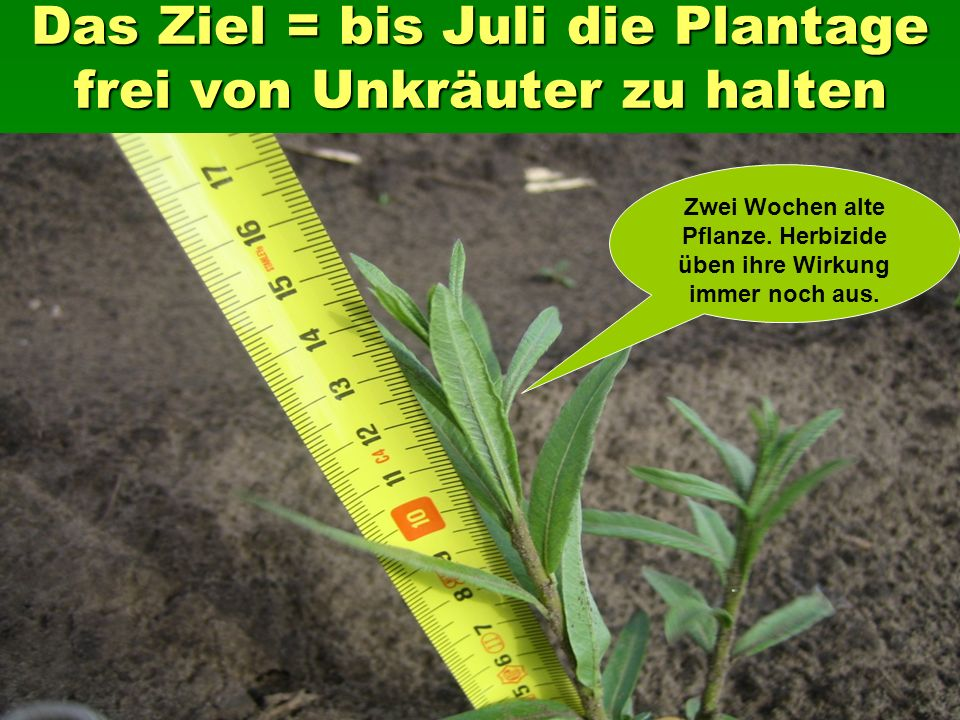 Das Ziel = bis Juli die Plantage frei von Unkräuter zu halten Zwei Wochen alte Pflanze.