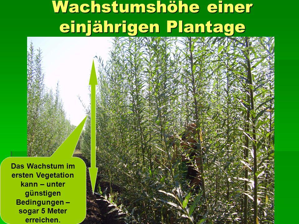 Wachstumshöhe einer einjährigen Plantage Das Wachstum im ersten Vegetation kann – unter günstigen Bedingungen – sogar 5 Meter erreichen.