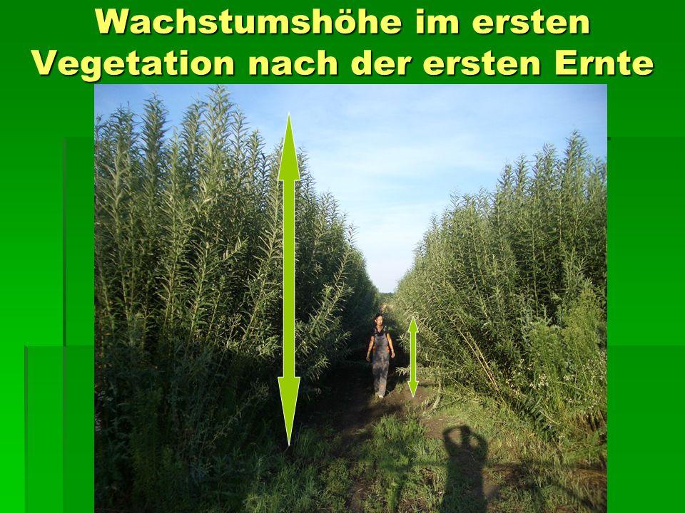 Wachstumshöhe im ersten Vegetation nach der ersten Ernte