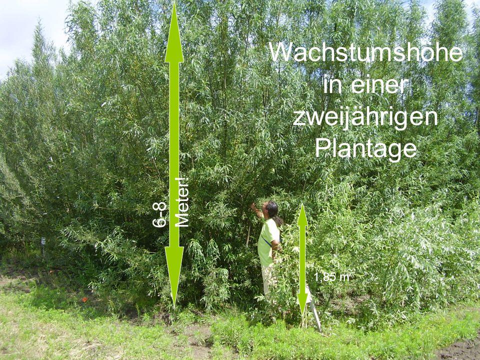 Wachstumshöhe in einer zweijährigen Plantage 1,85 m 6-8 Meter!
