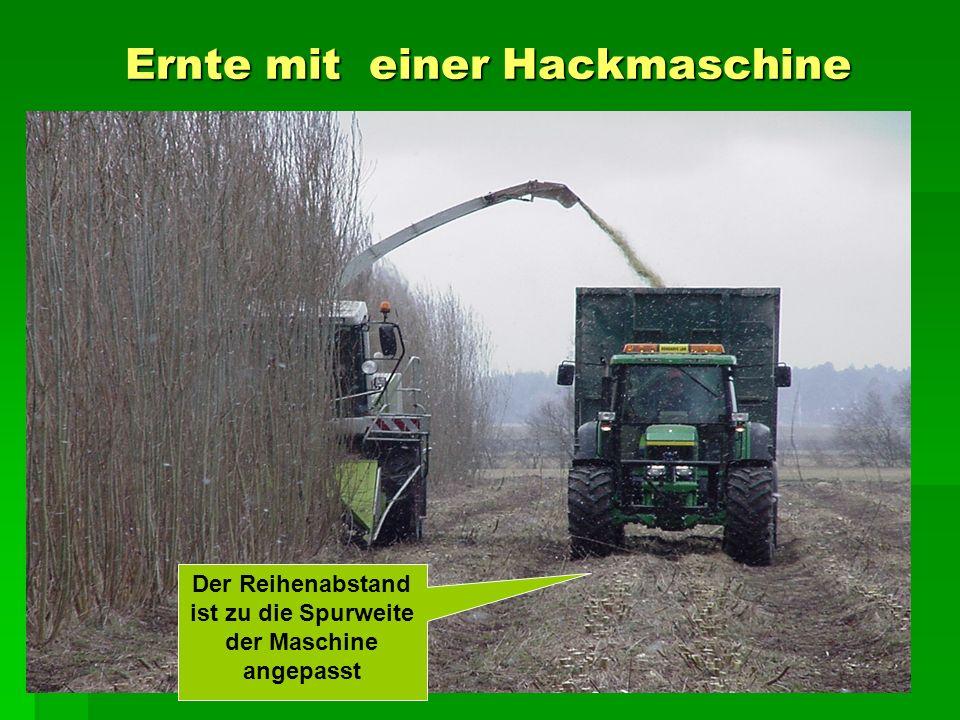 Ernte mit einer Hackmaschine Der Reihenabstand ist zu die Spurweite der Maschine angepasst