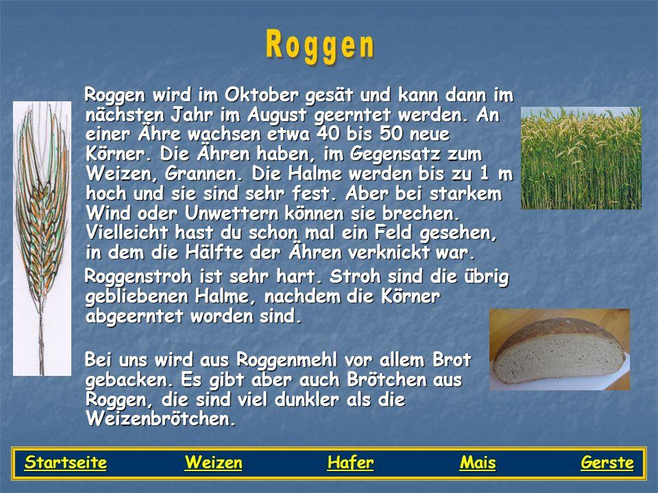 Roggen wird im Oktober gesät und kann dann im nächsten Jahr im August geerntet werden. An einer Ähre wachsen etwa 40 bis 50 neue Körner. Die Ähren hab