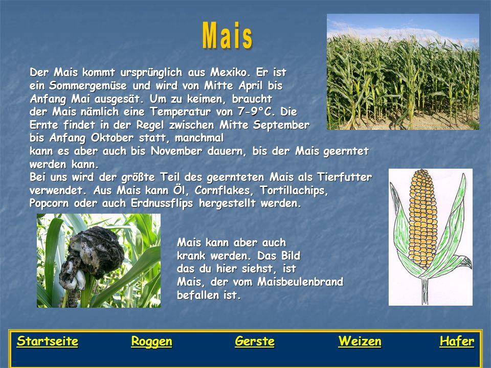 Der Mais kommt ursprünglich aus Mexiko. Er ist ein Sommergemüse und wird von Mitte April bis Anfang Mai ausgesät. Um zu keimen, braucht der Mais nämli