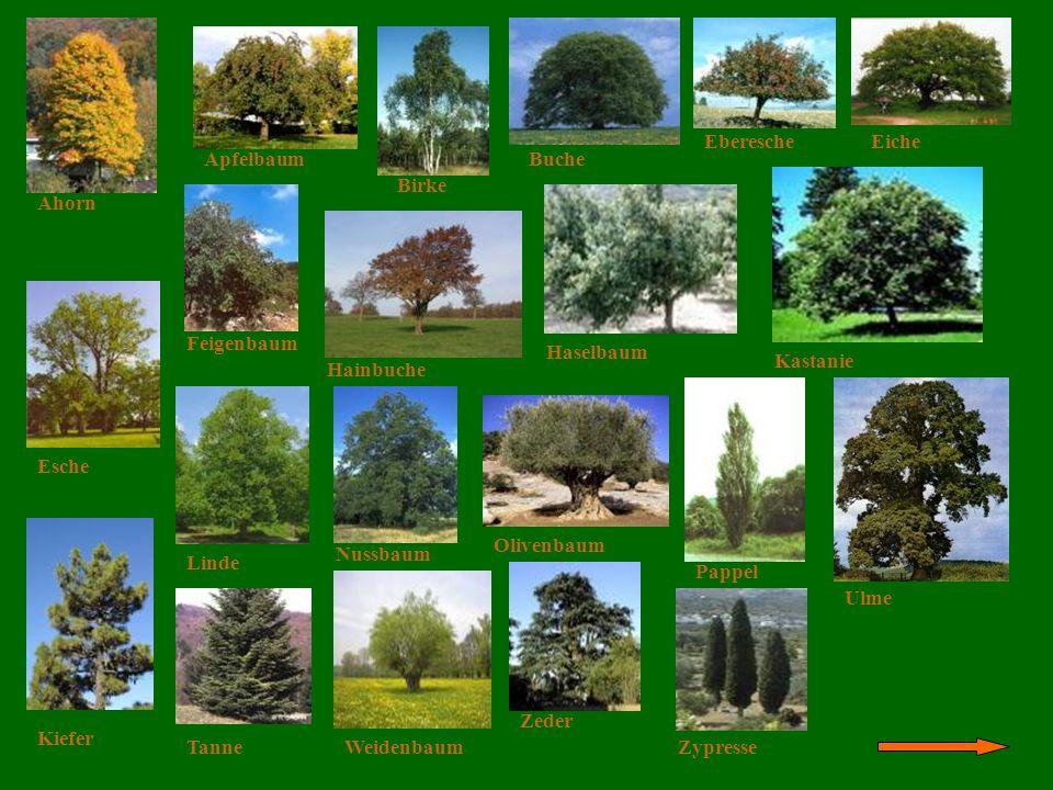 Die Bäume Ahorn Apfelbaum Birke Buche EberescheEiche Esche Feigenbaum Hainbuche Haselbaum Kastanie Kiefer Linde Nussbaum Olivenbaum Pappel Tanne Ulme