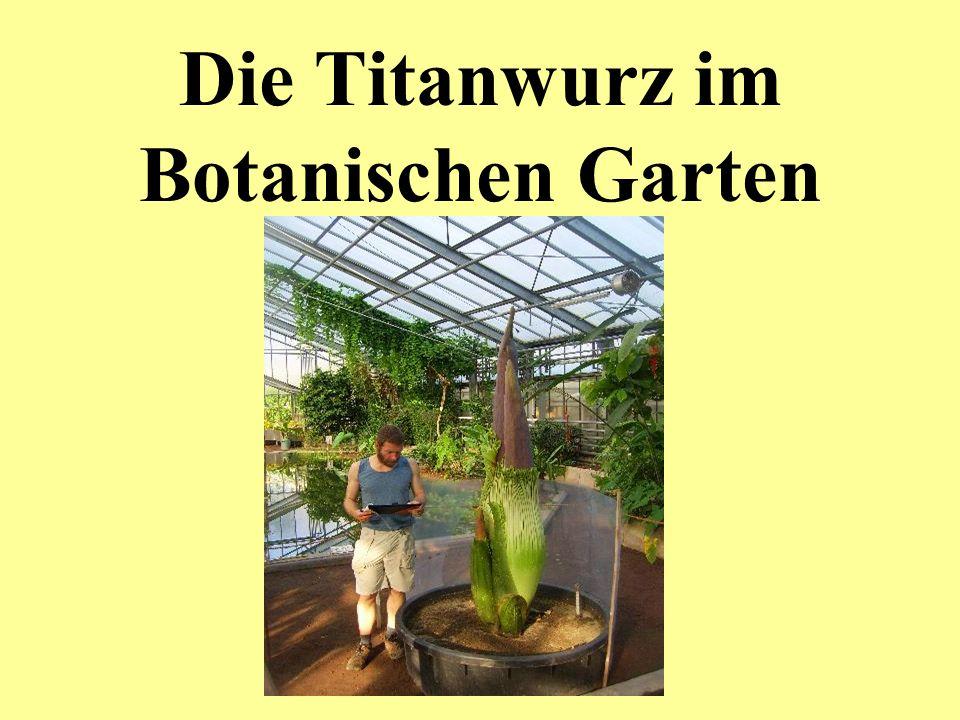 Die Titanwurz im Botanischen Garten