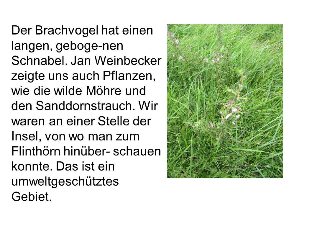 Der Brachvogel hat einen langen, geboge-nen Schnabel. Jan Weinbecker zeigte uns auch Pflanzen, wie die wilde Möhre und den Sanddornstrauch. Wir waren