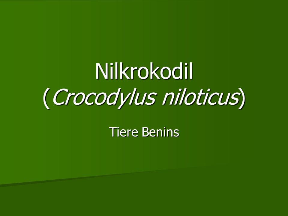 Nilkrokodil (Crocodylus niloticus) Tiere Benins