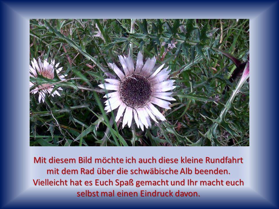 Man kann sie noch finden, das Edelweiss und Wahrzeichen der schwäbischen Alb, die Silberdistel!