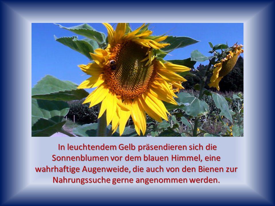 In leuchtendem Gelb präsendieren sich die Sonnenblumen vor dem blauen Himmel, eine wahrhaftige Augenweide, die auch von den Bienen zur Nahrungssuche gerne angenommen werden.