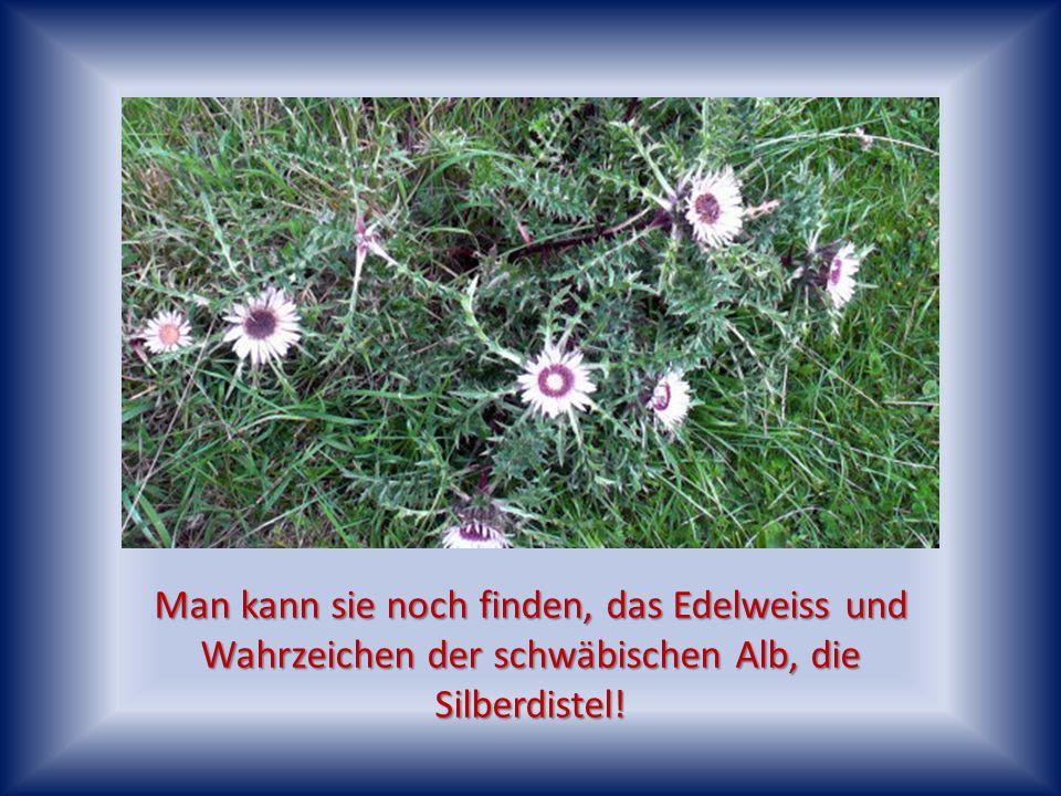 Die Lieblings- Blume der Hummeln, die Disteln, die hier auch in großen Mengen anzutreffen sind.