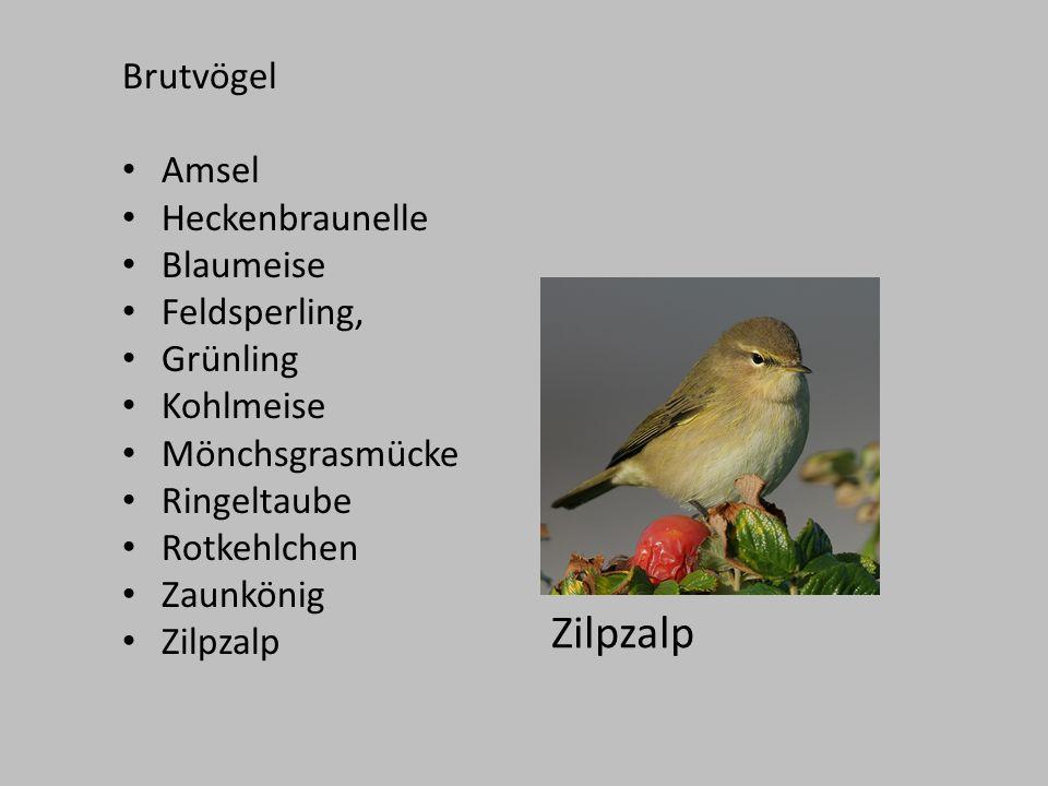 Brutvögel Amsel Heckenbraunelle Blaumeise Feldsperling, Grünling Kohlmeise Mönchsgrasmücke Ringeltaube Rotkehlchen Zaunkönig Zilpzalp