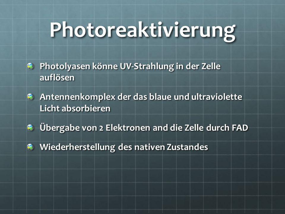 Photoreaktivierung Photolyasen könne UV-Strahlung in der Zelle auflösen Antennenkomplex der das blaue und ultraviolette Licht absorbieren Übergabe von