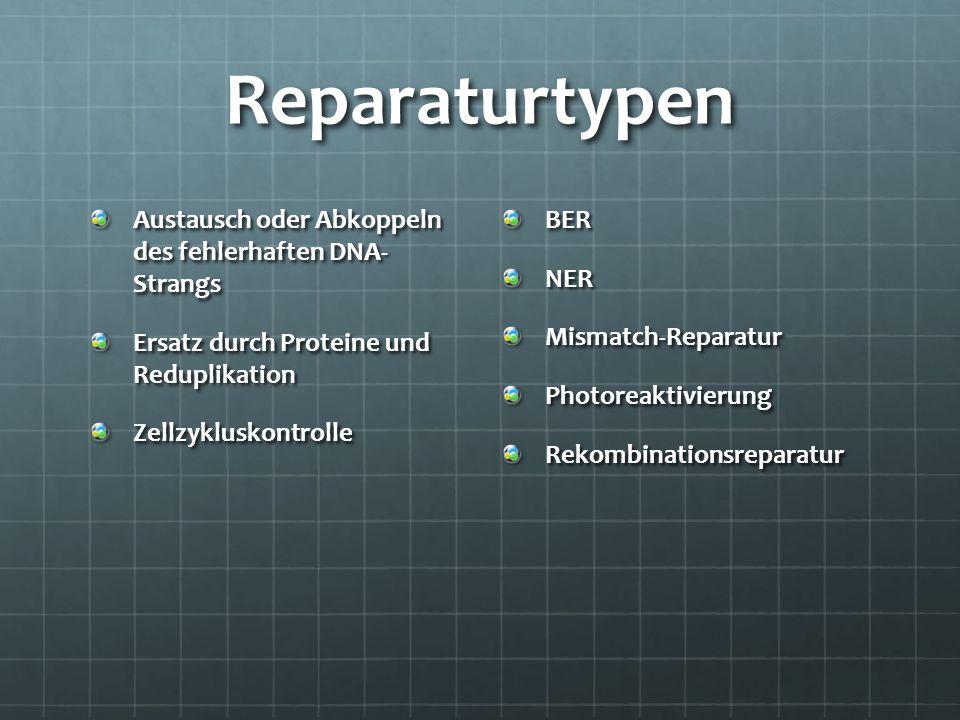 Reparaturtypen Austausch oder Abkoppeln des fehlerhaften DNA- Strangs Ersatz durch Proteine und Reduplikation ZellzykluskontrolleBERNERMismatch-Repara
