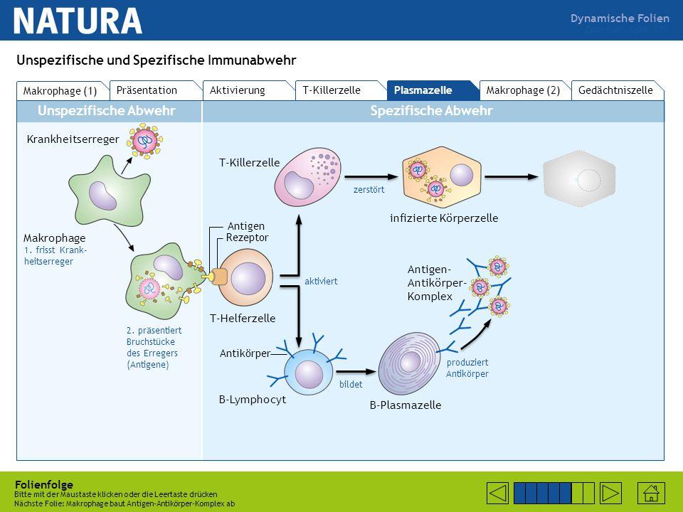 Dynamische Folien Unspezifische AbwehrSpezifische Abwehr Folienfolge Bitte mit der Maustaste klicken oder die Leertaste drücken Nächste Folie: B-Lymphozyt bildet Plasmazelle  Antigen-Antikörper-Komplex Zum Buch Seite 270 Unspezifische und Spezifische Immunabwehr Makrophage (1) PräsentationAktivierung T-KillerzellePlasmazelle Makrophage (2)Gedächtniszelle Krankheitserreger Makrophage 1.