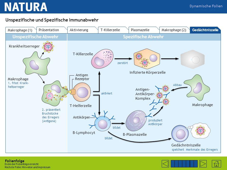Dynamische Folien Unspezifische AbwehrSpezifische Abwehr Folienfolge Bitte mit der Maustaste klicken oder die Leertaste drücken Nächste Folie: B-Lymphocyt bildet (parallel zu Plasmazelle) auch Gedächtniszelle Zum Buch Seite 270 Unspezifische und Spezifische Immunabwehr Makrophage (1) PräsentationAktivierung T-KillerzellePlasmazelle Makrophage (2)Gedächtniszelle Krankheitserreger Makrophage 1.