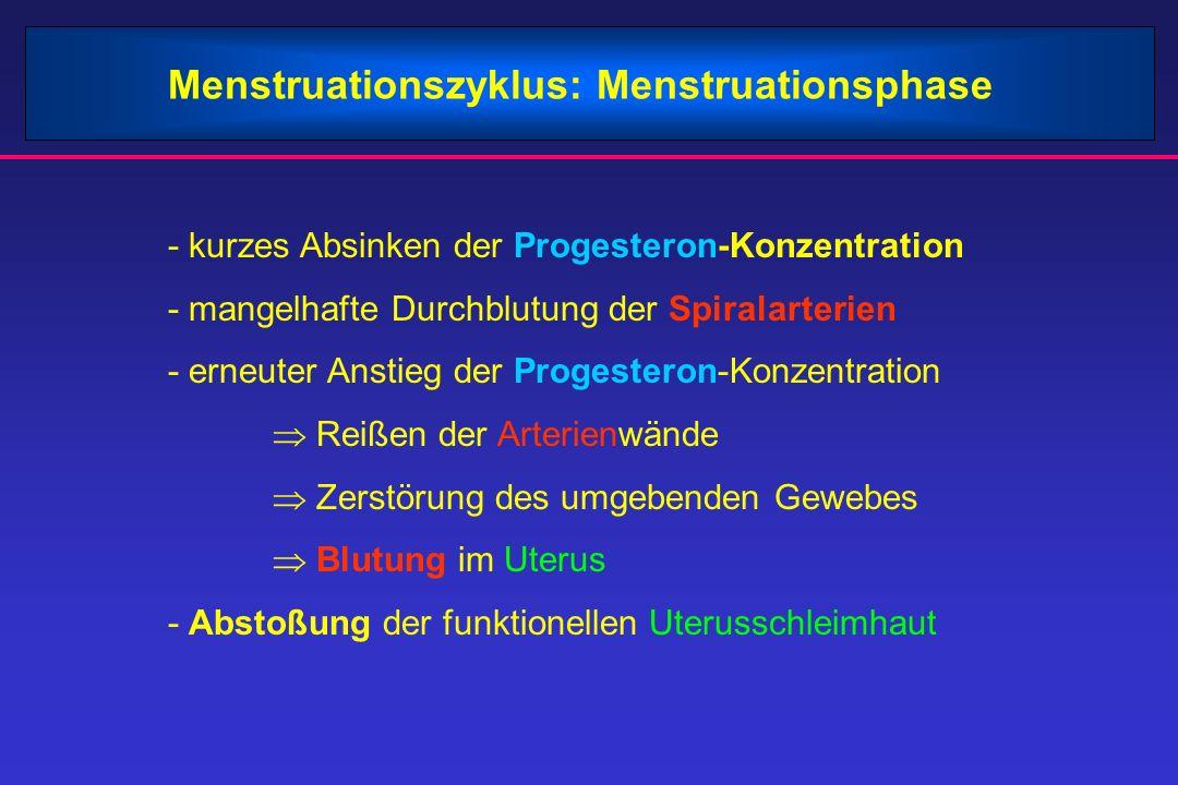 Menstruationszyklus: Menstruationsphase - kurzes Absinken der Progesteron-Konzentration - mangelhafte Durchblutung der Spiralarterien - erneuter Anstieg der Progesteron-Konzentration  Reißen der Arterienwände  Zerstörung des umgebenden Gewebes  Blutung im Uterus - Abstoßung der funktionellen Uterusschleimhaut