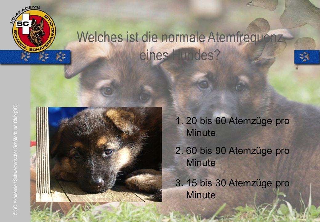 © Pia Koster Welches ist die normale Atemfrequenz eines Hundes.