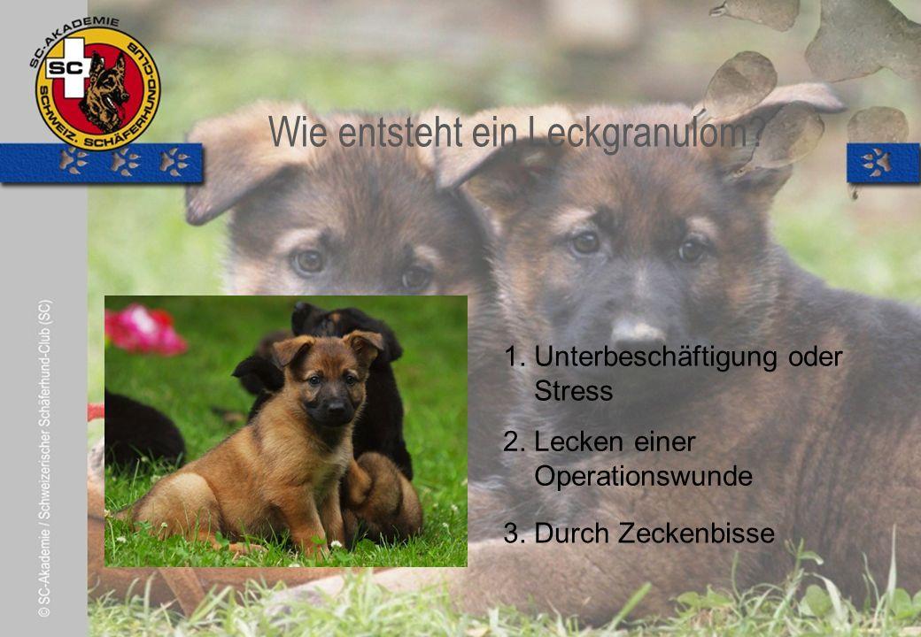 © Pia Koster Wie entsteht ein Leckgranulom. 2. Lecken einer Operationswunde 3.