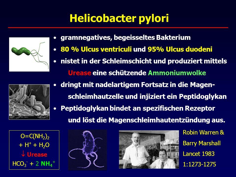 Helicobacter pylori gramnegatives, begeisseltes Bakterium 80 % Ulcus ventriculi und 95% Ulcus duodeni nistet in der Schleimschicht und produziert mittels Urease eine schützende Ammoniumwolke dringt mit nadelartigem Fortsatz in die Magen- schleimhautzelle und injiziert ein Peptidoglykan Peptidoglykan bindet an spezifischen Rezeptor und löst die Magenschleimhautentzündung aus.