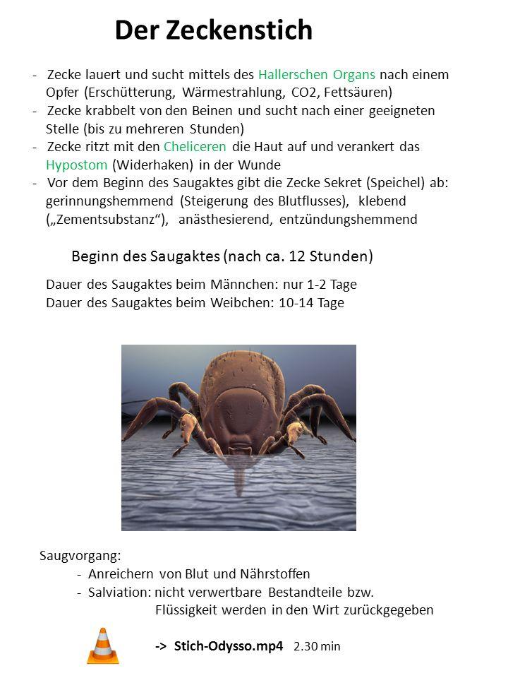 Der Zeckenstich - Zecke lauert und sucht mittels des Hallerschen Organs nach einem Opfer (Erschütterung, Wärmestrahlung, CO2, Fettsäuren) - Zecke krab